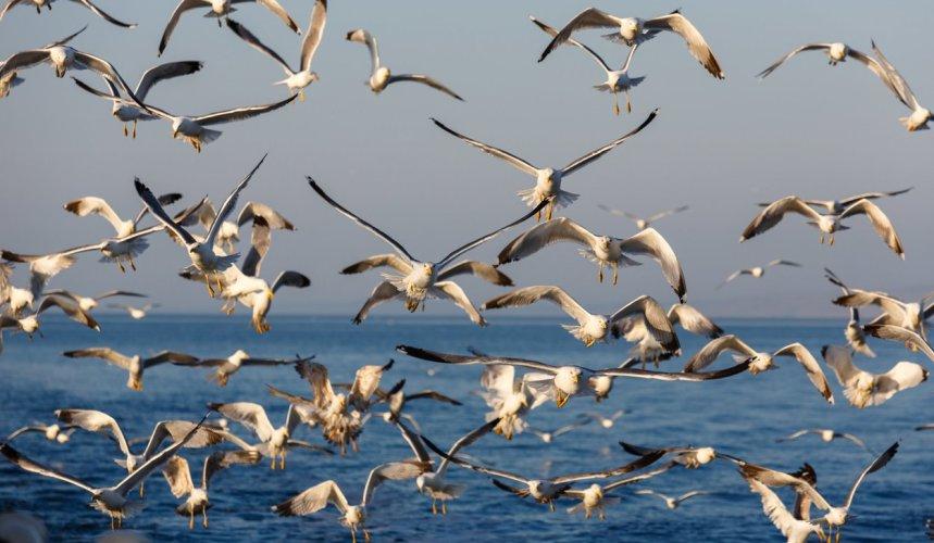 Na krčkim plažama svako malo možete vidjeti galebove