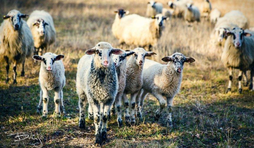 Krčki ovčji sir na daleko je poznat