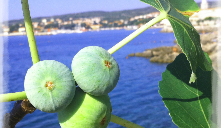A fruitful fig tree right by the sea