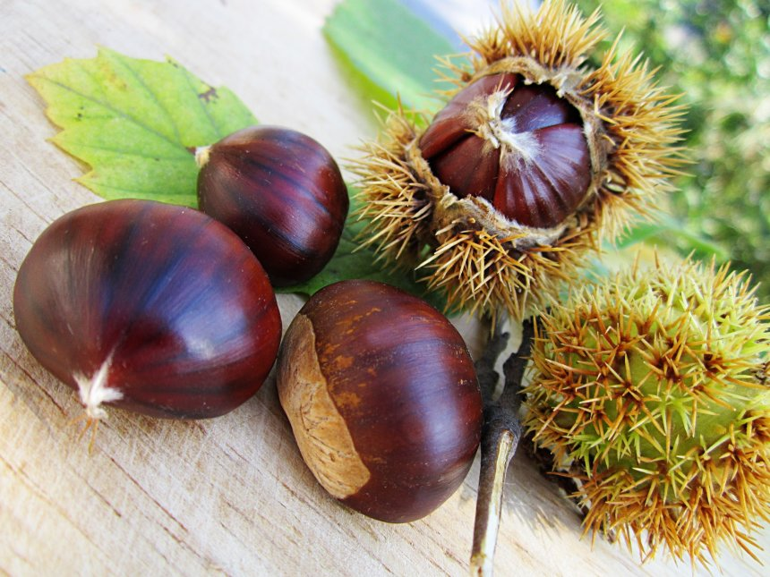 Chestnuts - the ultimate fruit of the autumn season